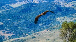 Buitre leonado volando sobre el Tajo