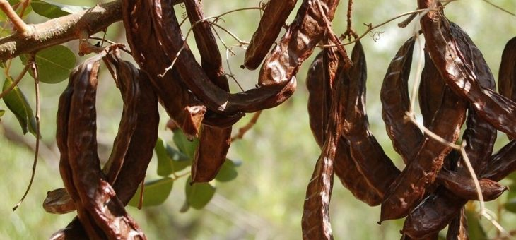 The Carob tree: A tasty guide
